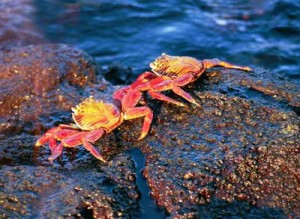 image of beautiful galapagos crabs